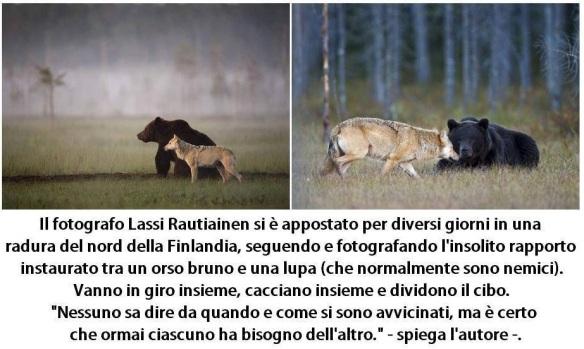 oso y lobo